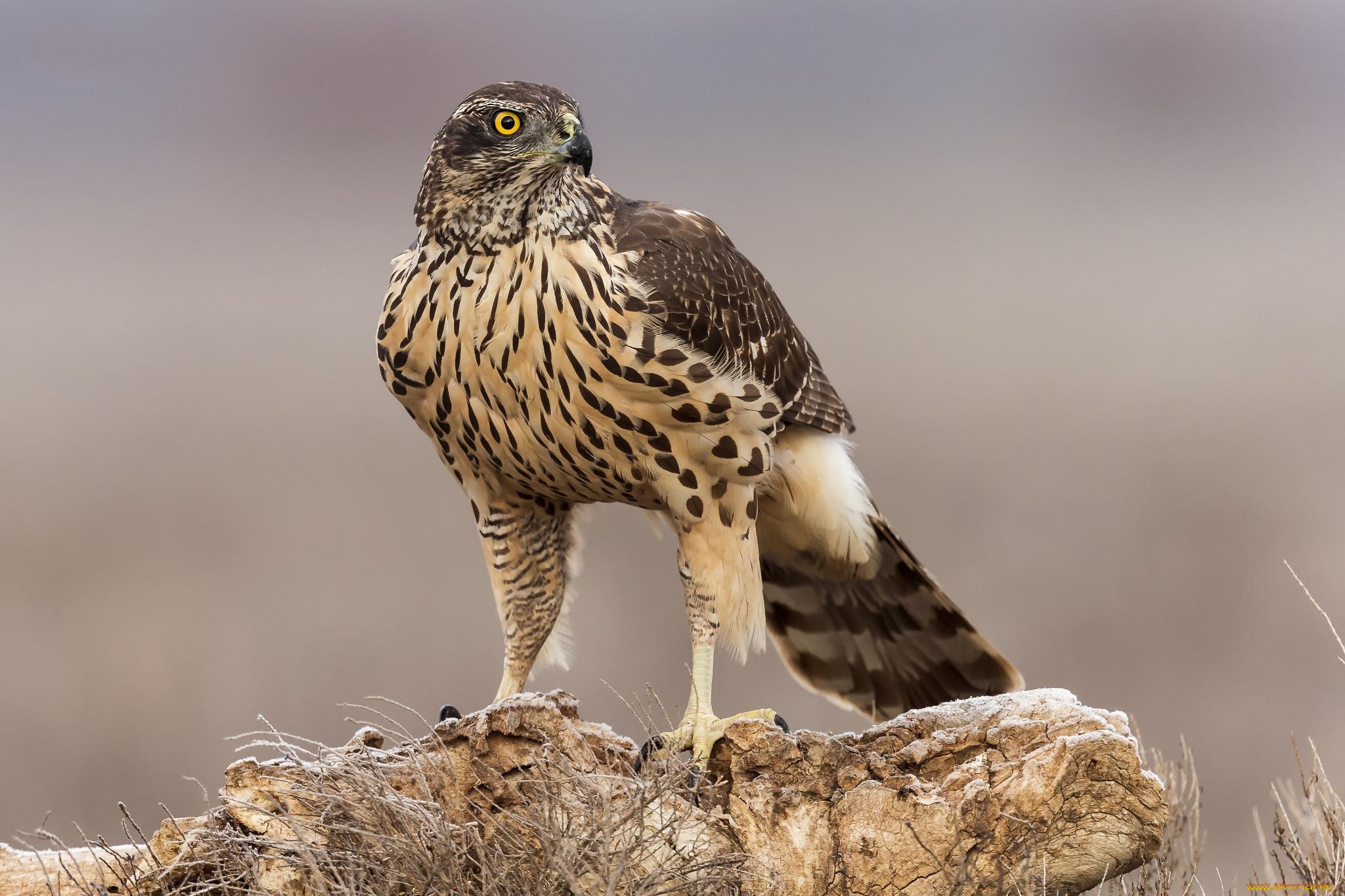 Хищные птицы вологодской области фото